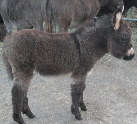 Cinda - Brown Jennet - Miniature donkey for sale