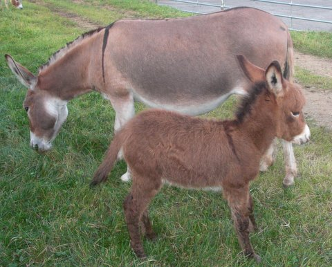Red Lolita - mini donkey Jennet for sale